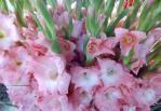 فروش گل گلایل شاخه بریده