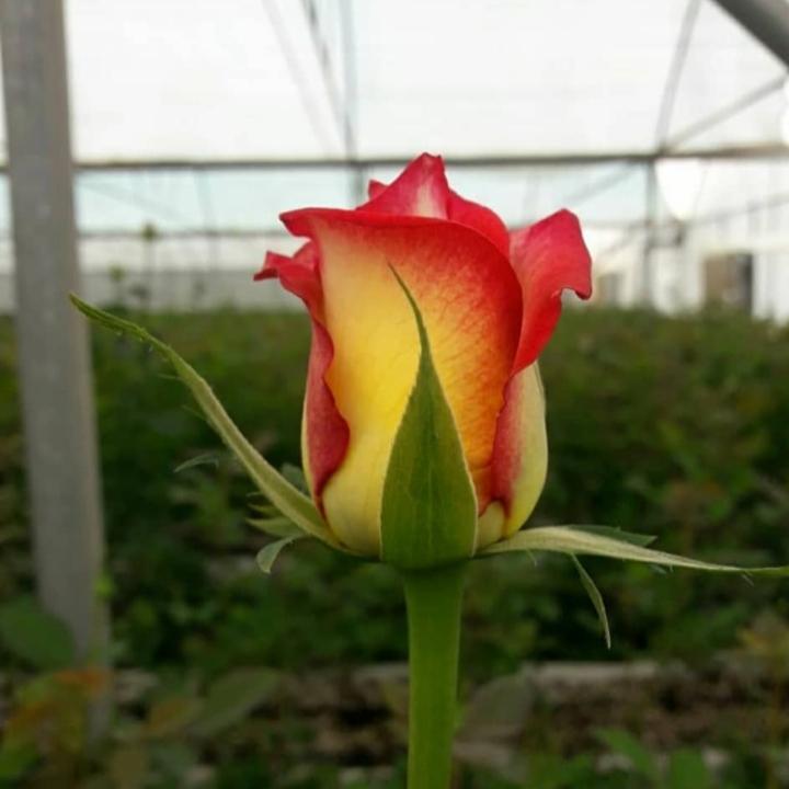 گل رز هلندی