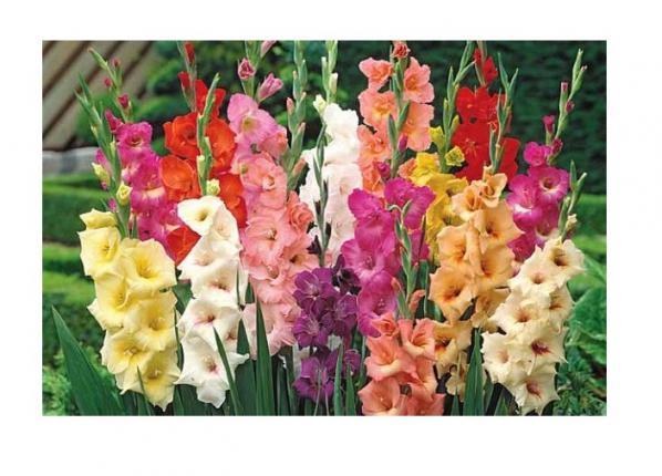 ليست قيمت گل گلايل عمده گل شاخه بریده