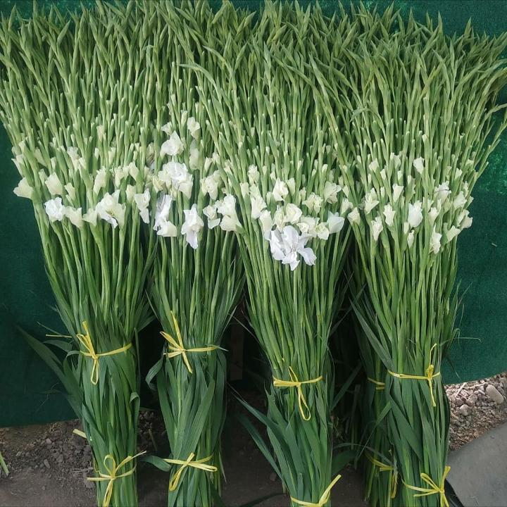 گل گلایل سفید