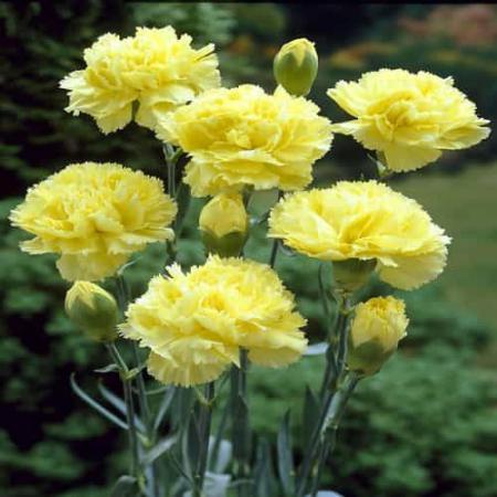لیست قیمت روز هر شاخه گل میخک زرد در بازار