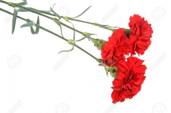 قیمت خرید میخک قرمز طبیعی از تولید کننده