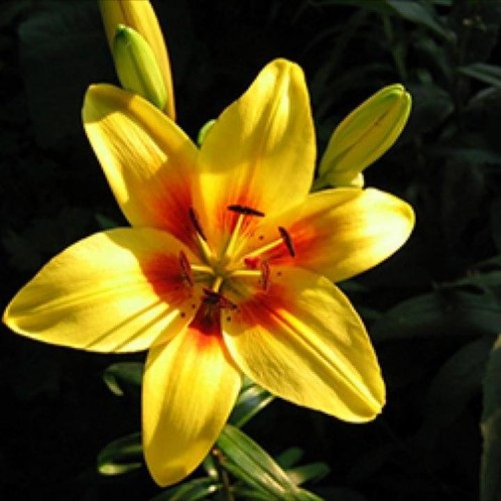 گل شاخه بریده لیلیوم