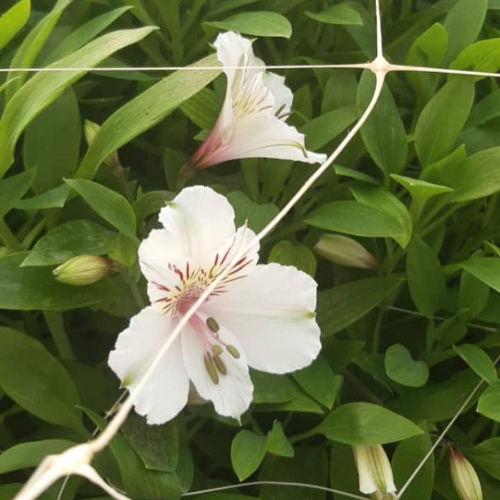 گل شاخه بریده آلستر تازه