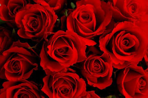 قیمت خرید بوته گل رز در گلخانه