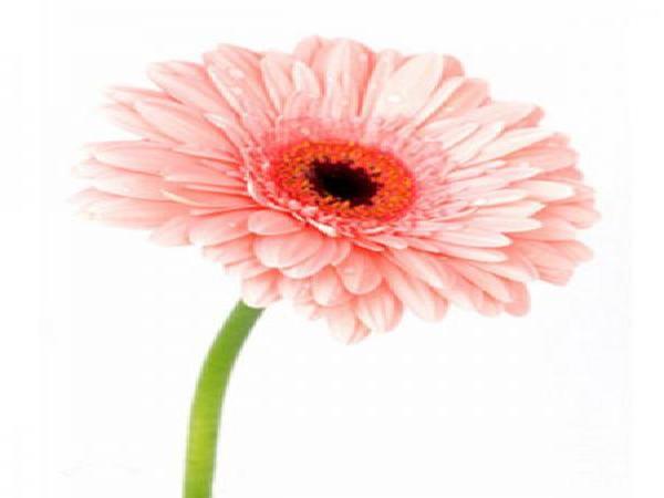 خرید ارزان گل ژربرا