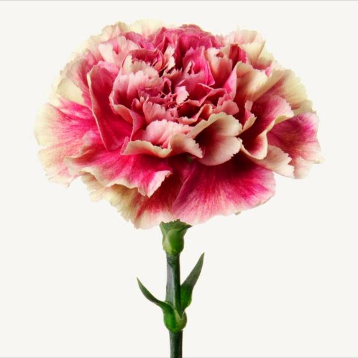 گل میخک مینیاتوری