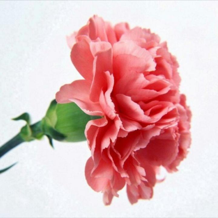 صادرات گل میخک