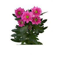 گل داوودی مینیاتوری (خوشه ای)